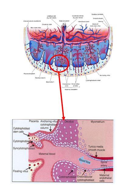 Anatomía de la placenta