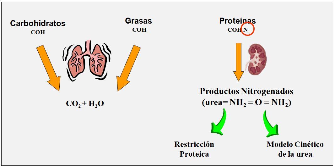 Fundamentos de la restricción proteica