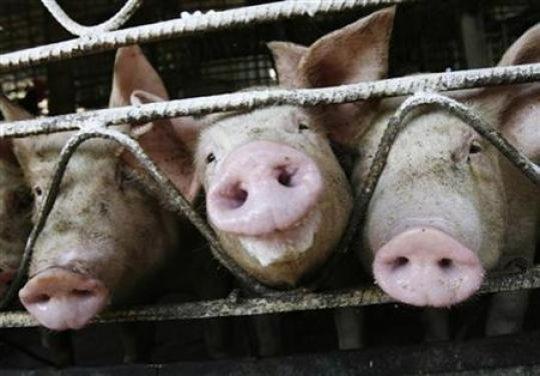 La gripe porcina es contagiosa